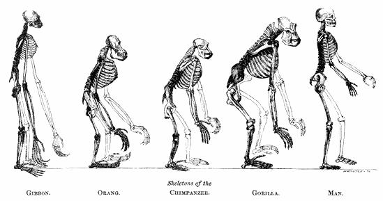 darwin-evolution-skeletons